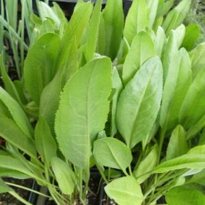 Plante moutarde bio ou Grande passerage bio