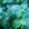 Plante au goût de champignon