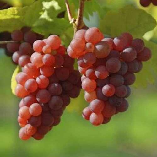 vigne suffolk bio