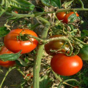 Tomates cerises précoce Bio