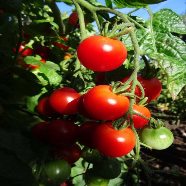 tomate cerise bio montplaisir