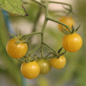 tomate champagne bio
