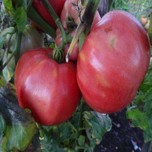 belle tomate bio la grosse bulgare