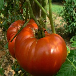 Tomate Grosse Plate du Portugal Bio