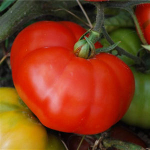 tomate marmande bio