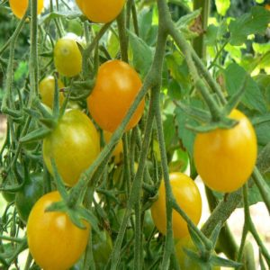 tomate cerise mirabelle bio