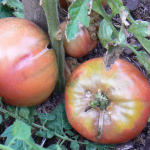 Tomate Coeur de Boeuf Charbonneuse Bio