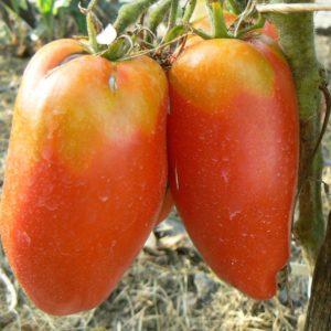 tomate piment bio une super tomate délicieuse