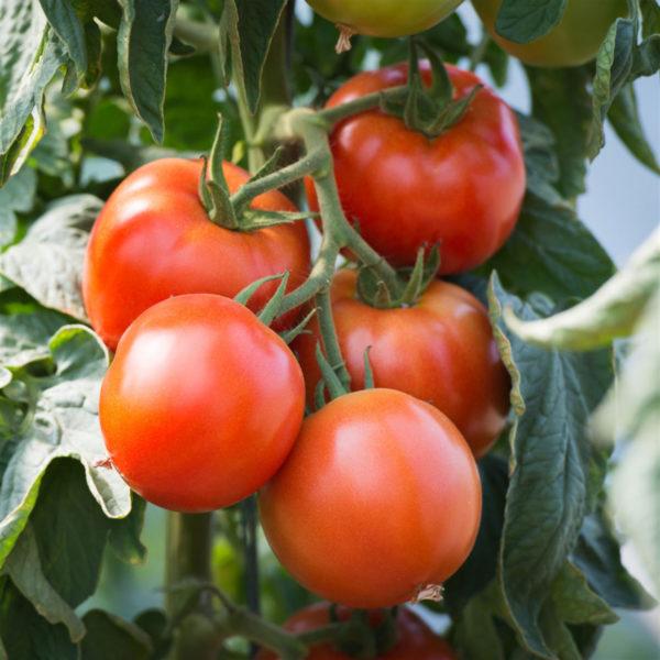 tomate bio saint pierre