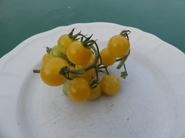 tomate nain et cerise bio yellow dawrf