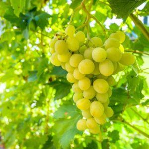 vigne exalta bio